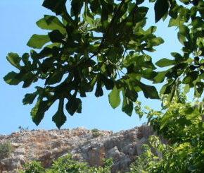Fig tree on Mt Hermon